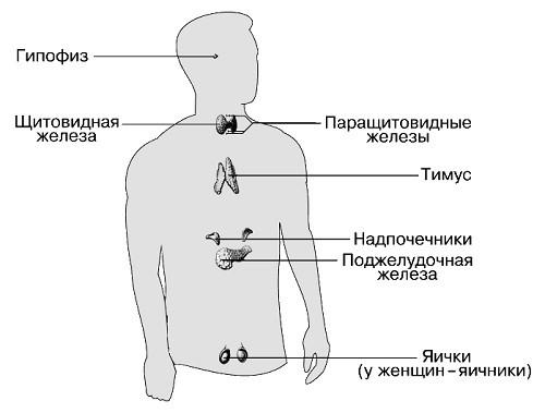 основные гормоны