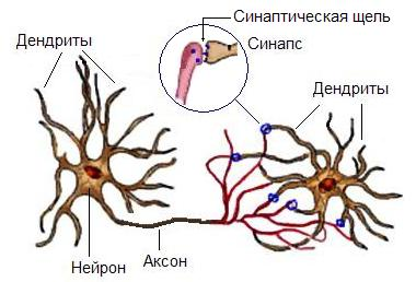 Связи между нейронами, вид