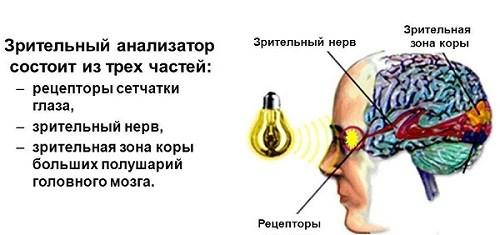 Рецепторы, вставочные нейроны