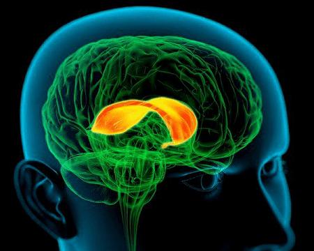 вот мозолистое тело